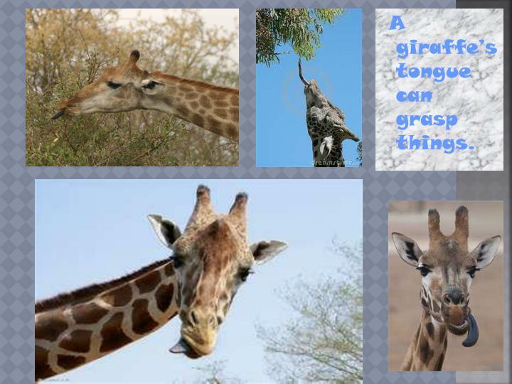 A giraffe's tongue can grasp things.