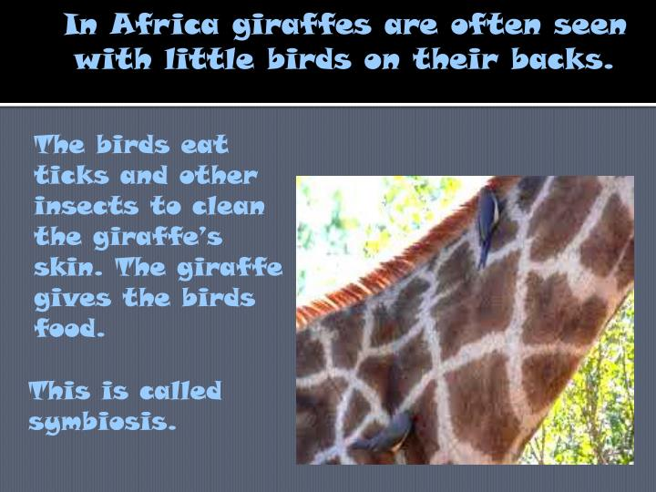 The birds eat ticks and other insects to clean the giraffe's skin. The giraffe gives the birds food.