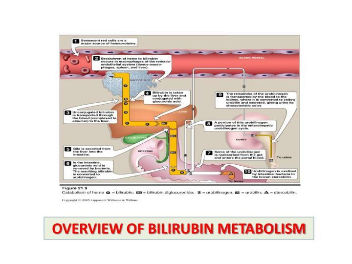 Ppt Bilirubin Metabolism Jaundice Powerpoint Presentation Id