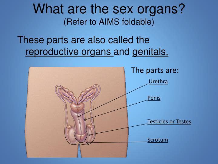 What are the sex organs?