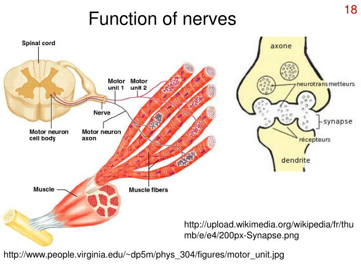 Function of nerves
