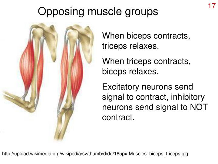 Opposing muscle groups