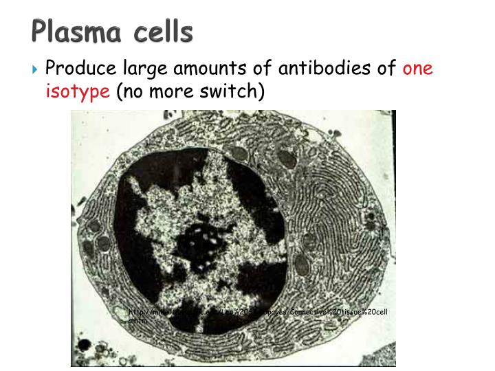 Plasma cells