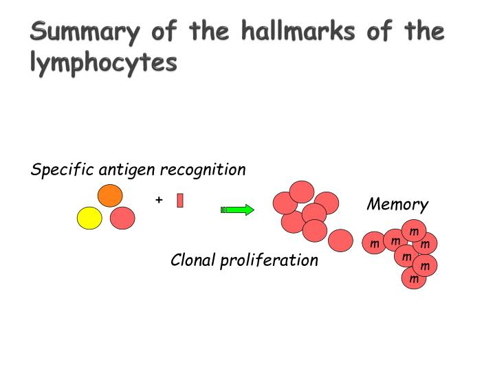 Summary of the hallmarks of the lymphocytes