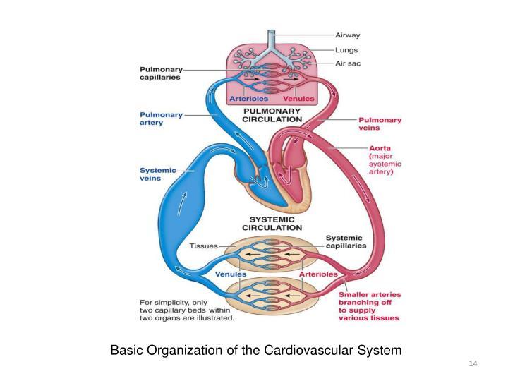 Basic Organization of the Cardiovascular System