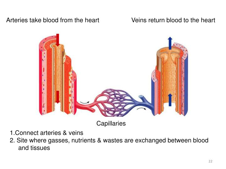 Arteries take blood from the heart