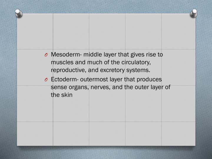 Mesoderm- middle layer that gives rise to muscles and much of the circulatory, reproductive, and excretory systems.