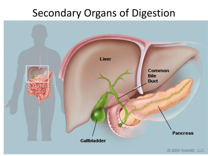 PPT - EQ: What is the function and parts of the digestive system ...