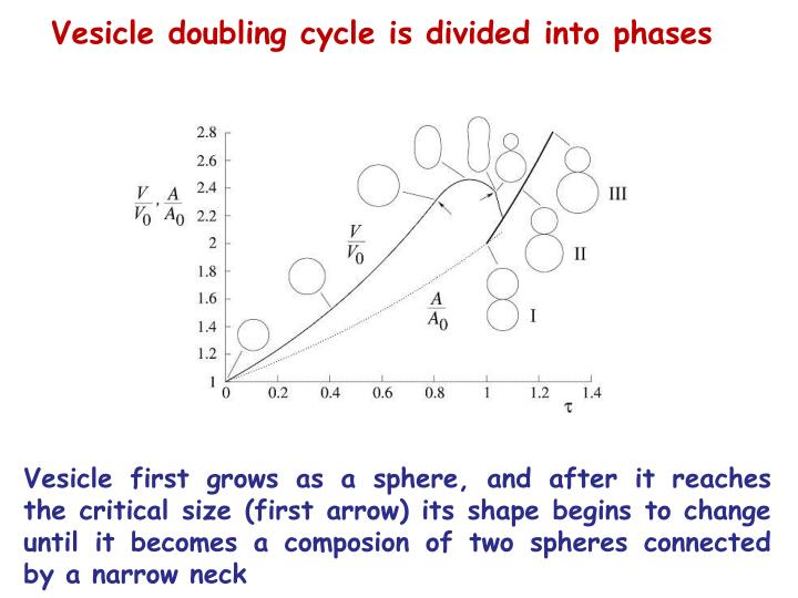 Vesicle doubling cycle is divided into phases