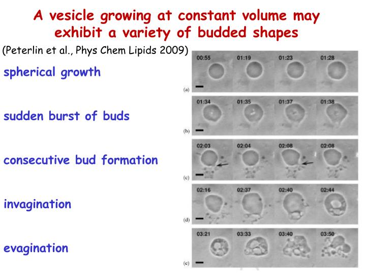 A vesicle growing at constant volume may exhibit a variety of budded shapes