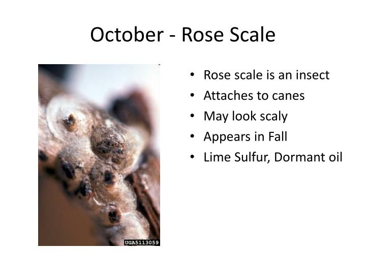 October - Rose Scale