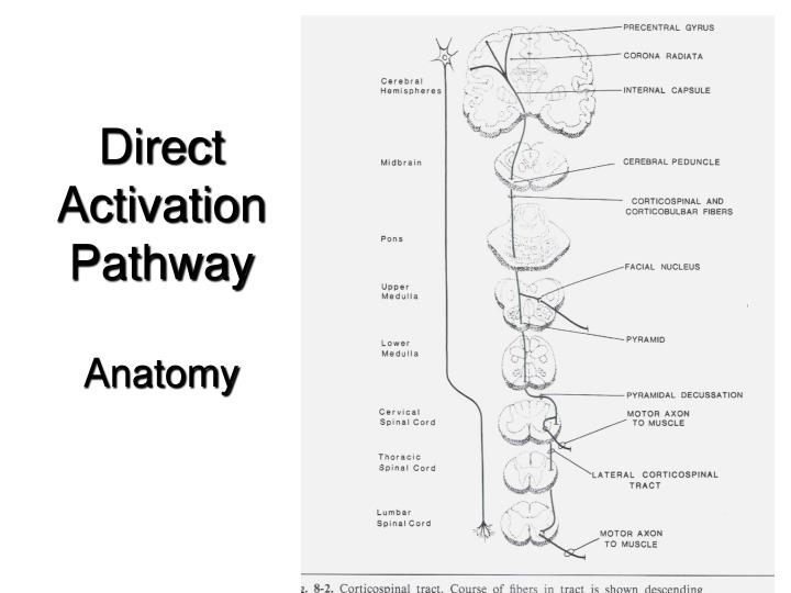 Direct Activation Pathway