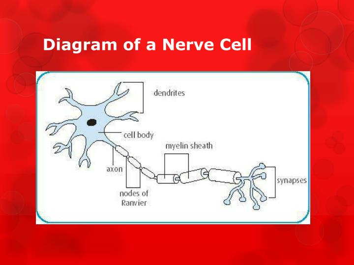 Diagram of a Nerve Cell