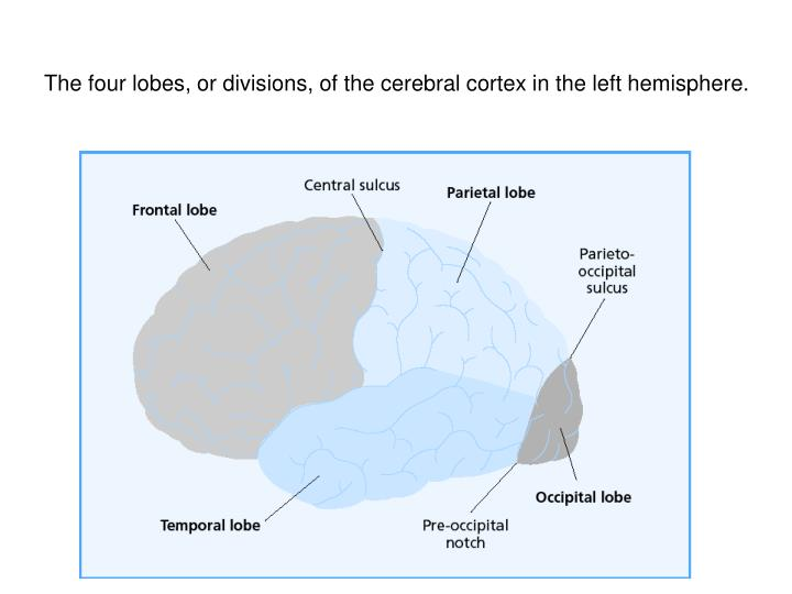 The four lobes, or divisions, of the cerebral cortex in the left hemisphere.