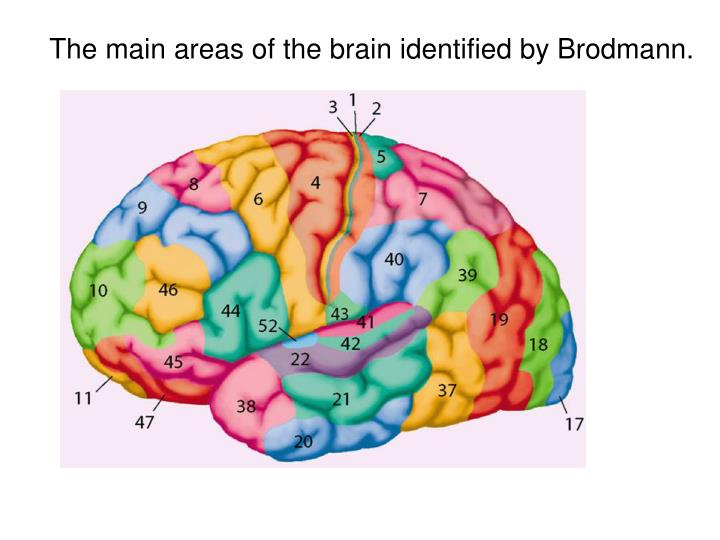 The main areas of the brain identified by Brodmann.