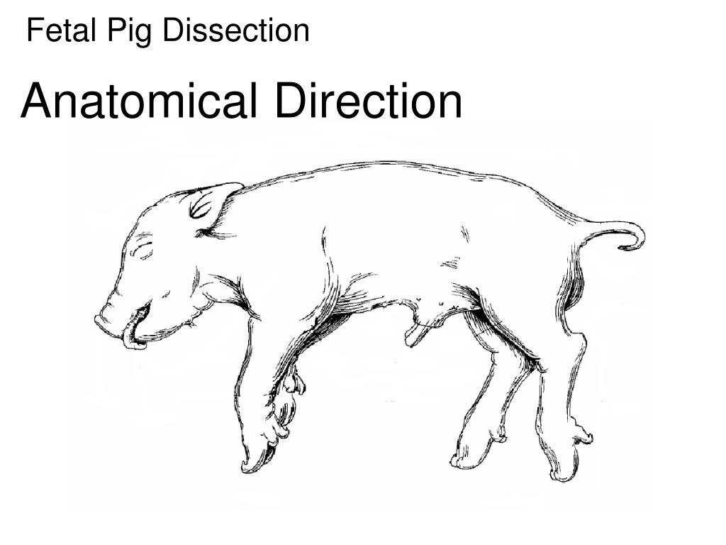 Ppt Fetal Pig Dissection Powerpoint Presentation Id2749984