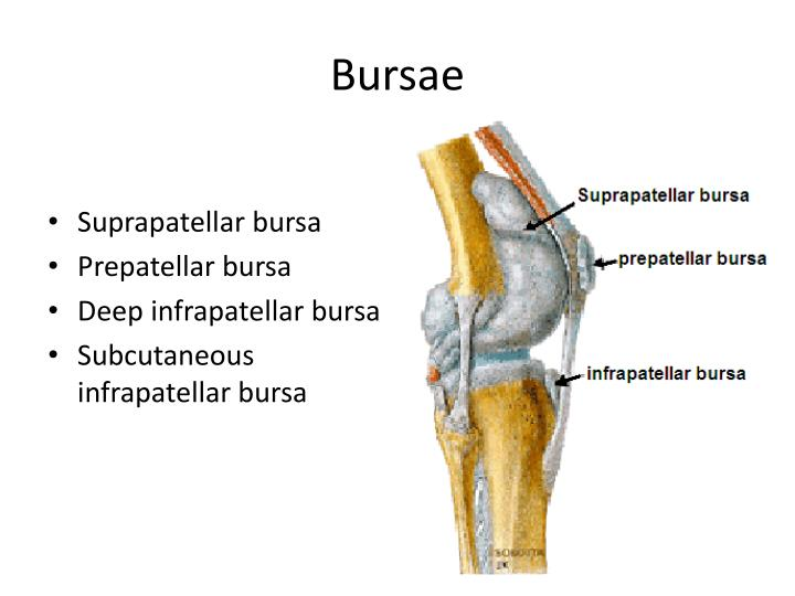 Ppt Knee Tibiofemoral Joint And Foot Powerpoint Presentation