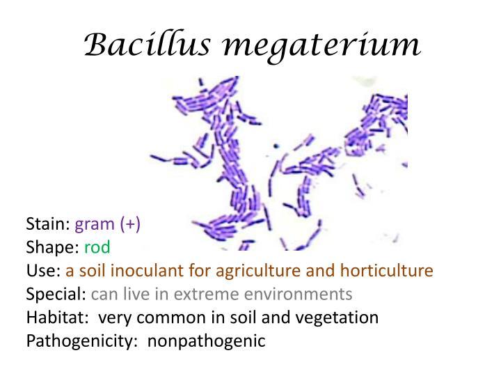 Bacillus Megaterium Gram Stain 100x
