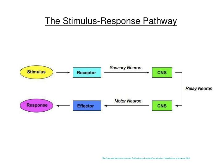 The stimulus response pathway