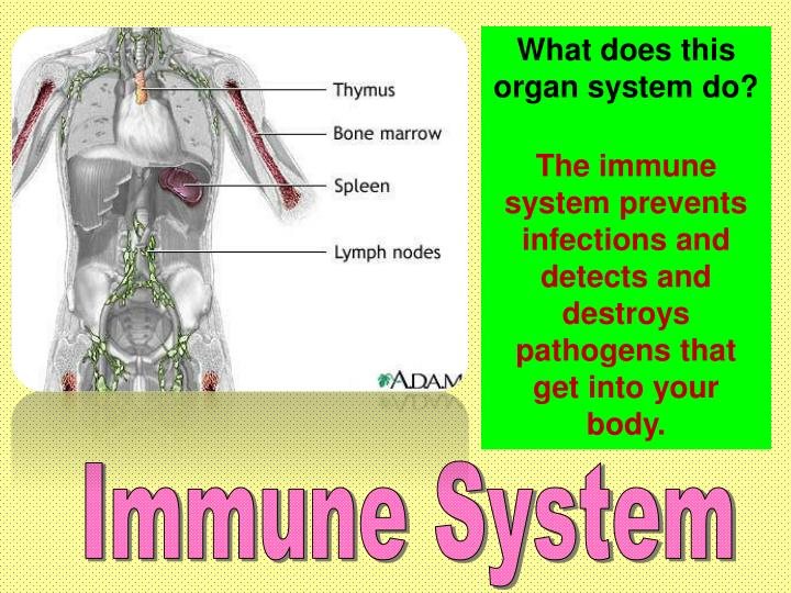 What does this organ system do?