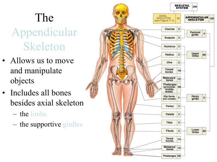 PPT - The Appendicular Skeleton PowerPoint Presentation - ID:2754774