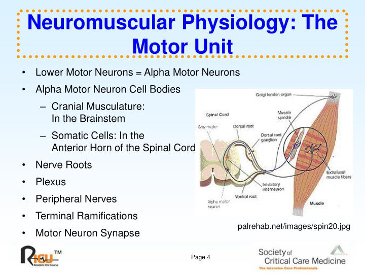Ppt program information powerpoint presentation id2759647 neuromuscular physiology the motor unit ccuart Choice Image