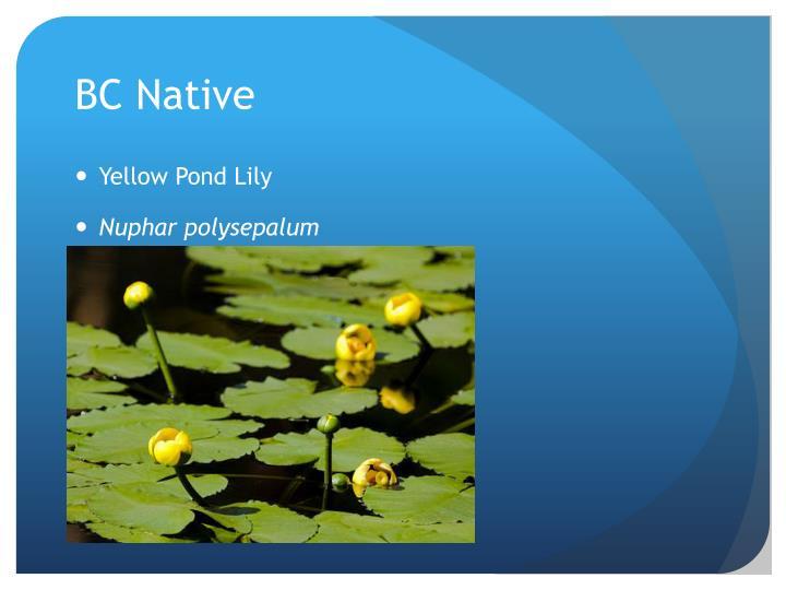 BC Native