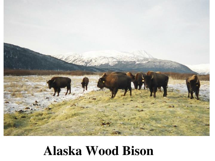 Alaska Wood Bison