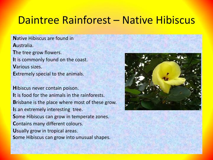 Daintree Rainforest – Native Hibiscus