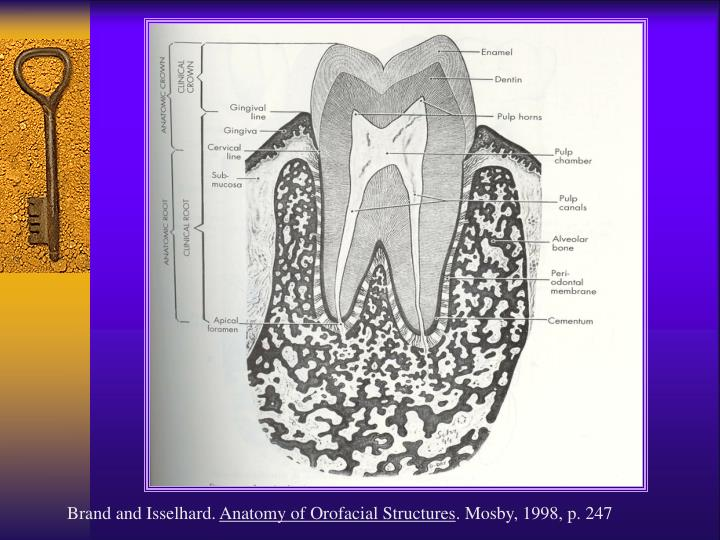 Ppt Overview Of The Dentitions Powerpoint Presentation Id2769691