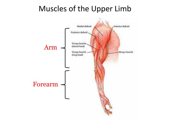 Ppt Muscles Of The Upper Lower Limbs Powerpoint Presentation