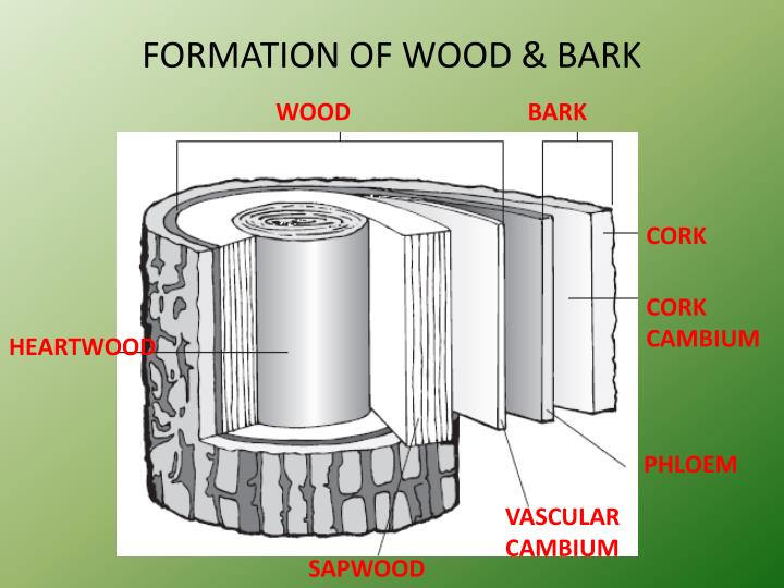 FORMATION OF WOOD & BARK