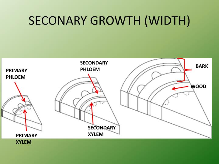 SECONARY GROWTH (WIDTH)