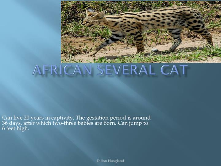 African several cat