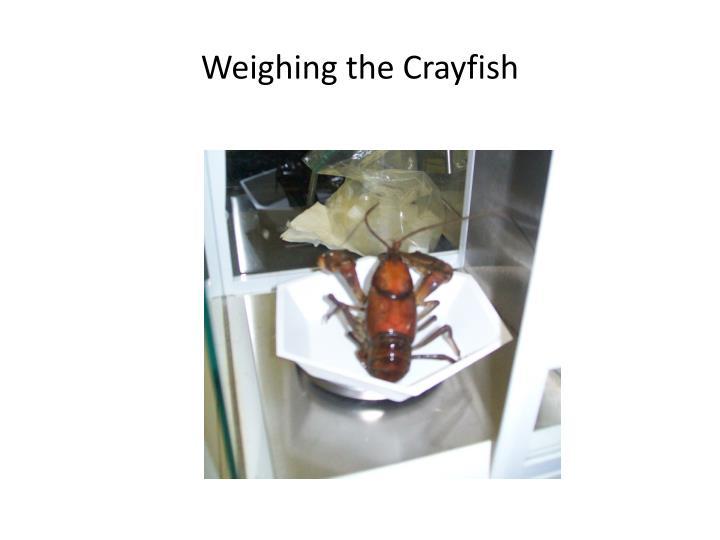 Weighing the Crayfish
