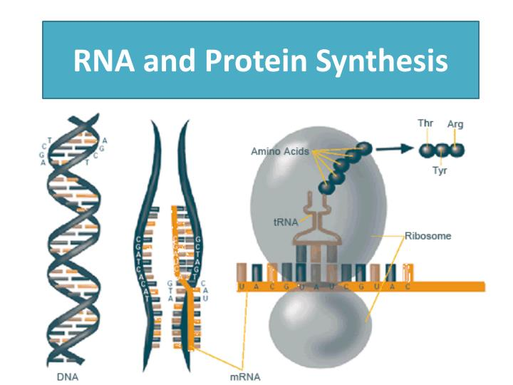 an essay on protein synthesis