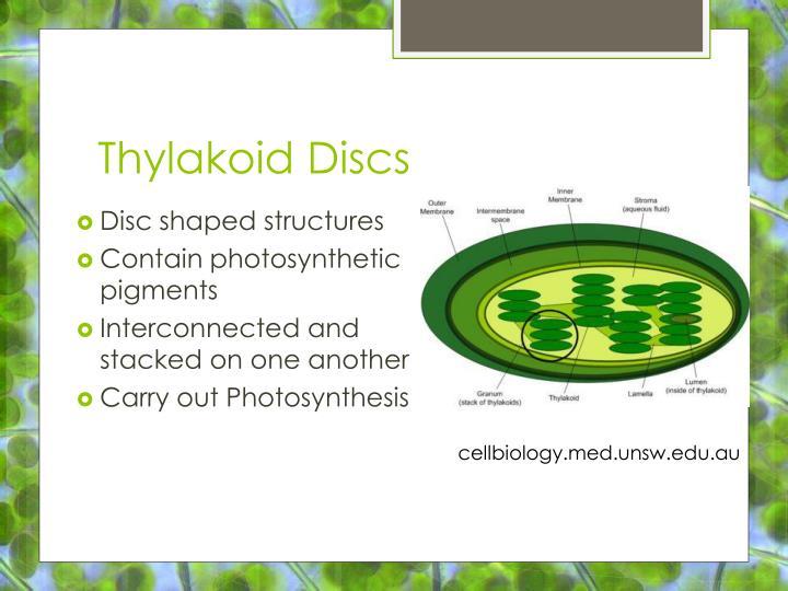 Thylakoid Discs