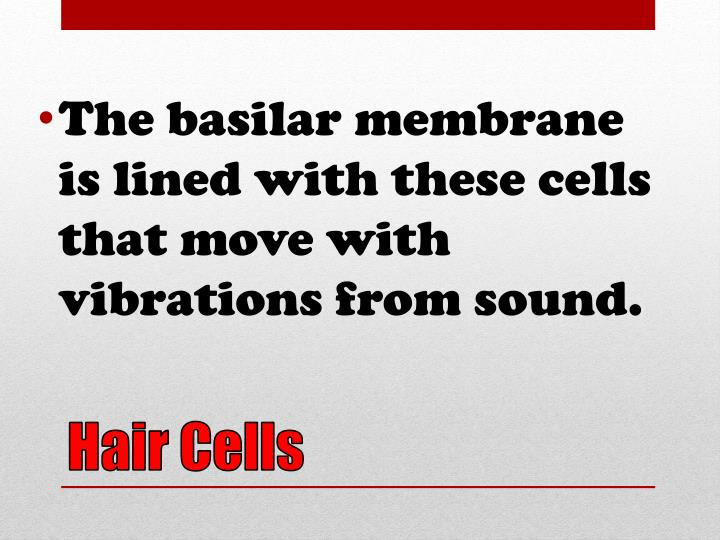 The basilar membrane is lined with these cells that move with vibrations from sound.