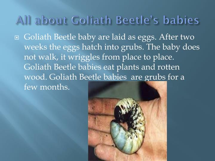 All about Goliath Beetle's babies