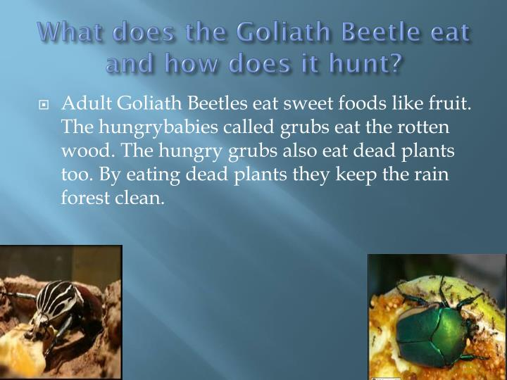 What does the Goliath Beetle eat and how does it hunt?