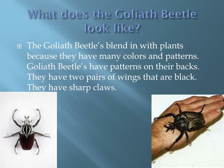 What does the goliath beetle look like
