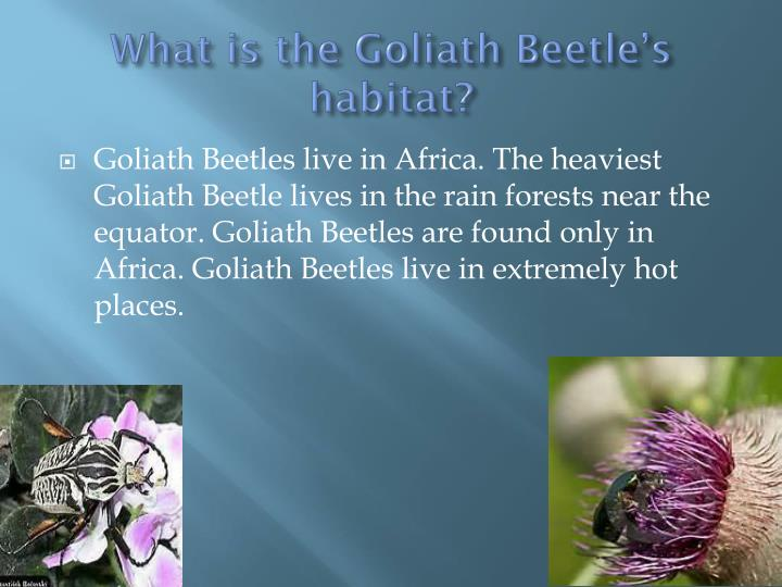 What is the Goliath Beetle's habitat?