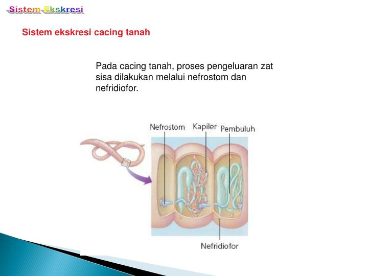 Ppt Excretion System By Desnawati Powerpoint Presentation Id2788713
