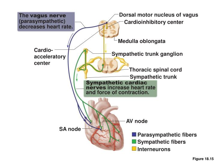 Dorsal motor nucleus of vagus