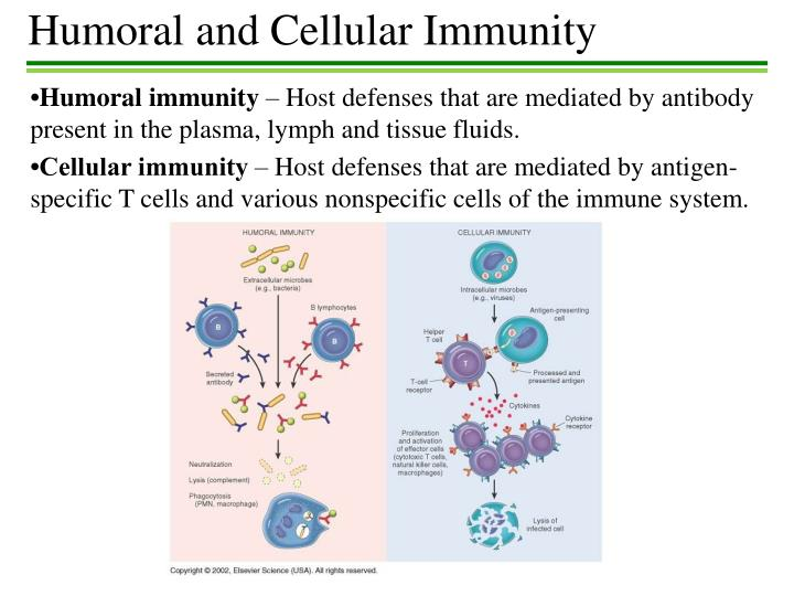 PPT - Humoral and Cellular Immunity PowerPoint Presentation - ID:2792155