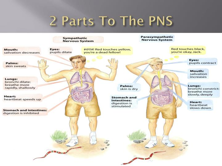 2 Parts To The PNS
