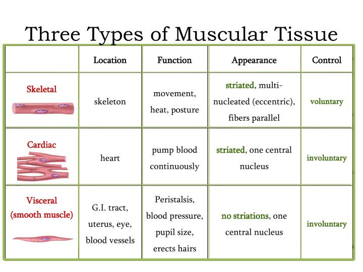 Fine Muscle Tissue Function Ornament - Anatomy And Physiology ...