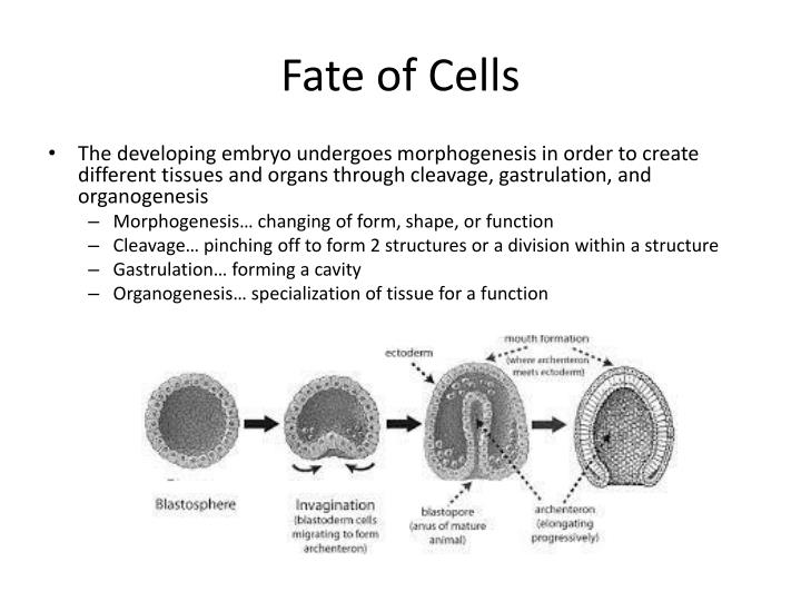 fate of cells n.