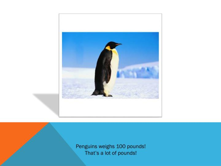 Penguins weighs 100 pounds!
