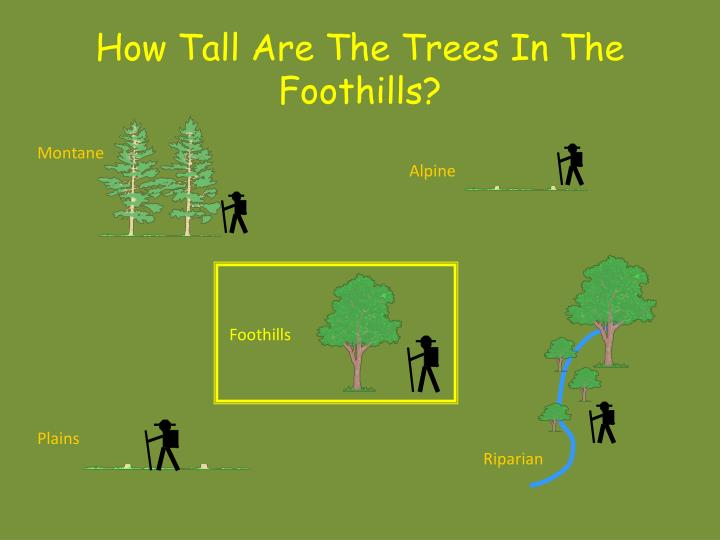 How Tall Are The Trees In The Foothills?